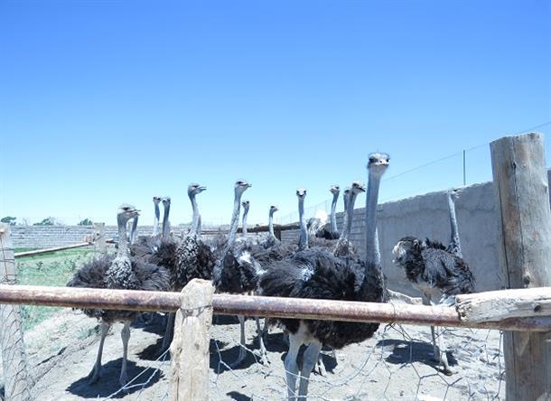 بازديد بخشدار دستگردان و رئيس صندوق كارآفريني اميد شهرستان از مزرعه پرورش شتر مرغ در روستاي محمدآباد